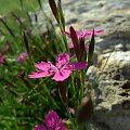 #goździk #kwiatek #kwiaty #łąka #różowy
