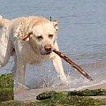 Labrador na plaży w Grzybowie #grzybowo #labrador #pies #plaża #woda