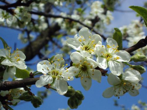 wiosenna gałązka:) #KwiatSliwa #wiosna #niebo #kolor
