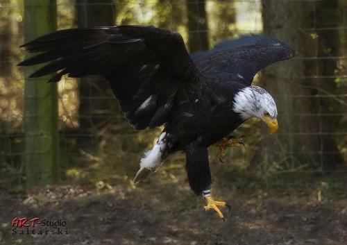 Złapany na terenie Rezerwatu, zaręczam że ten młody jeszcze osobnik porusza się na wolności, nie jest własnością rezerwatu jednak dbają tu o niego jak o króla. #Ptak