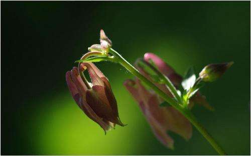 Orlik... #Orlik #kwiaty #makro