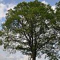 #lato #rzepak #pejzaż #przyroda #drzewo #Baum #Sommer #Raps #Landschaft