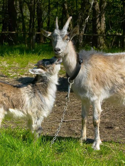 #Kolbuszowa #koza #koziołek #kozy #łańcuch #rodzinka #skansen #ssaki #trawa