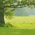 ulubine drzewo #dąb #drzewo #krajobraz #widok