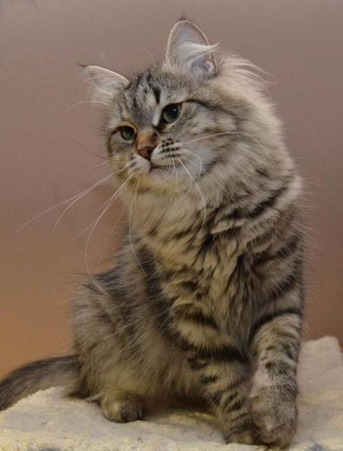 Robinia Marcowe Migdały*PL - kotka syberyjska 2 lata