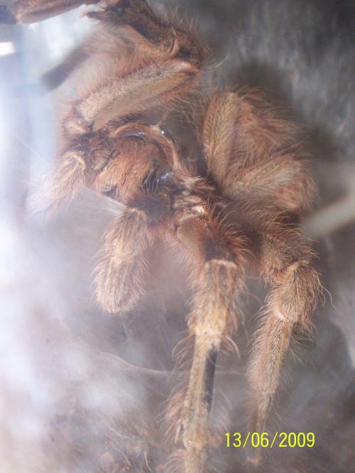 partner mojej N. vulpinus napelniajacy sie samiec.