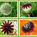 #Flora #roślina #kwiatek #oset #mak