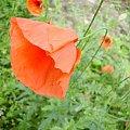 Mak #ogród #natura #rosliny #kwiatki #roslinność #roslinnosc #macro #piękno #działka #dojrzewanie #rozkwit #lato #wiosna #ciepło #owoce #drzewka #ogrod #zbiory #plony #OwoceNatury #wieś #wioska #ogródek #maczek #woda #mak
