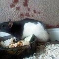 #szczur #zwierz