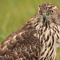 portret jastrzebia #fauna #jastrząb #ptak #zwierzęta