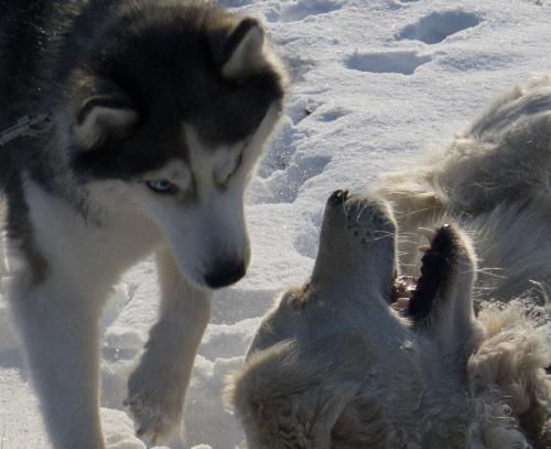 z Hajdi #golden #pies #psy #zwierzęta