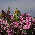 #kwiat #ogród #natura #kolor