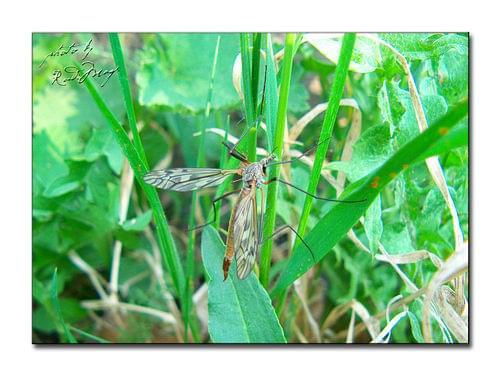 Koziułka (Tipula sp) #Koziułka #Tipula #owad