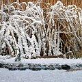 Zmrożona trzcina #zima #śnieg #mróz #szron #lód