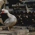 Na podwórku #ptak #kaczka