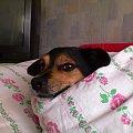 #Nero #pies #kundel #mieszaniec
