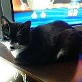 Czarny ogląda bajkę! #kot #kotka #pies #suczka #zwierzaki #zwierzęta