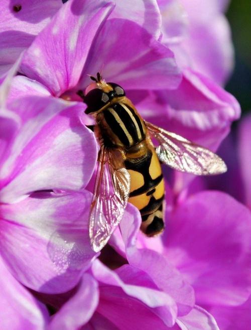 Owad i floks #przyroda #natura #kwiaty #owady #ogródek