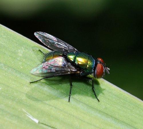 Mucha i listek #ogródek #owady #przyroda #natura