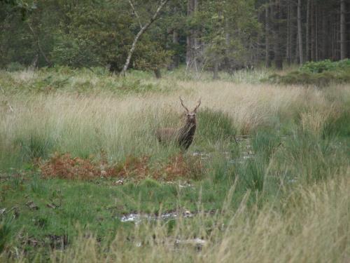 Król leśnych ostępów. #Jeleń #zwierzęta #rogacz