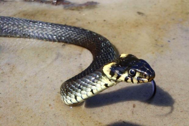 gadzinka.. mała sesyjka ;D #wąż #zaskroniec #gad