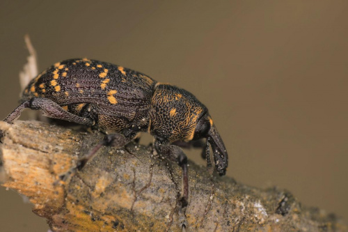 Pan Ryjek #chrząszcz #owad #makro