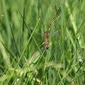Ważki w chwili uniesienia. 69? Zalew Siemianówka, 08.2009 [Olympus E-410, Zuiko Digital Tele 70-300] #natura #owad #ważka #insekt #tele