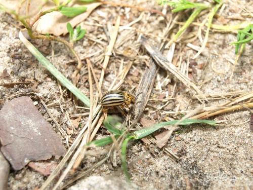 Owad z Ameryki, 08.2009 [Olympus E-410, Zuiko Digital 14-42; lampa pierścieniowa] #stonka #owad #insekt #pasożyt #paski #makro
