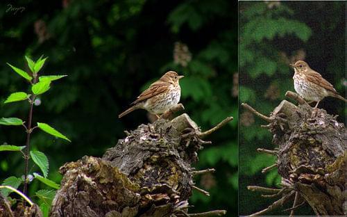 Drozd śpiewak (Turdus philomelos syn. T. ericetorum) #ptak #drozd #DrozdŚpiewak #śpiewak #turdus #TurdusPhilomelos #ericetorum