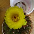 Kwiat Notocactusa ottonisa #NotocactusOttonis #notocactus #kaktus #sukulent #kwiat #pąk