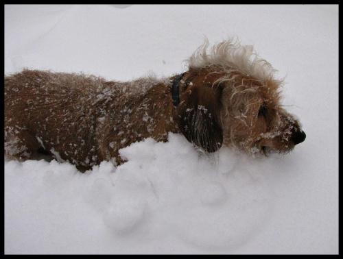 psi pług- no w końcu ktoś musi odśnieżać, a że śniegu po uszy.....:)