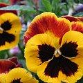 Kwiatek bratek #kwiat #bratek #natura #lato #ogród