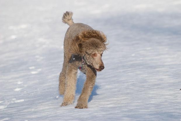 #Pies #pudel #zima #snieg