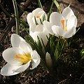 Krosusy :) #kwiaty #krorusy #natura #wiosna