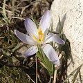 #kwiaty #krorusy #natura #wiosna