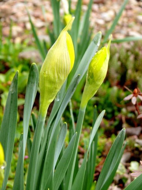początek zielonej wiosny - żonkile #wiosna #kwiat #żonkile #żonkil
