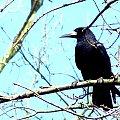 #wrona #niebo #drzewo #czarna #chmury #kawka #kruk
