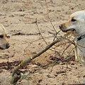 Spotkanie labradorów, marianowo #Hexa #labrador #labradory #retriever #marianowo #jezioro #spotkanie