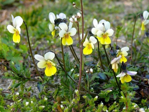 bratki I #kwiat #kwiatki #kwiaty #kwiatek #bratki #wiosna #Wiosna2010