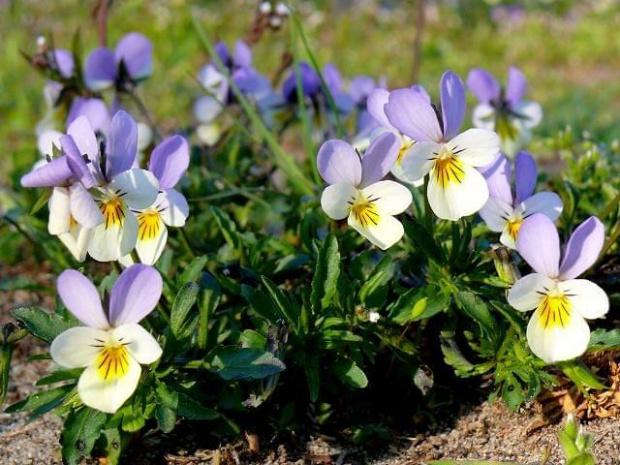 bratki II #kwiat #kwiatki #kwiaty #kwiatek #bratki #wiosna #Wiosna2010