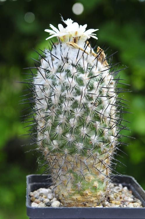 Turbinicarpus Viereckii v.major L730(Lazaro Cardenas)SLP.1500m d4