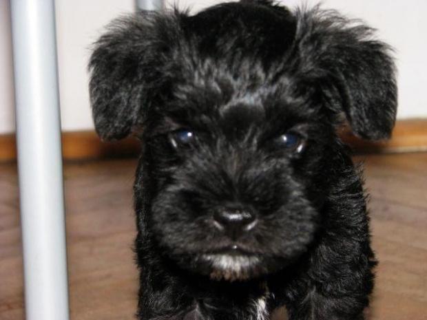 Gafi w wieku 6,5 tygodnia ;) #sznaucer #pies #piesek #szczeniak #szczenięta #sznaucerek #miniaturka #miniatury #szczeniaki #baby #puppy #schnauzer