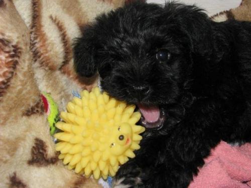 #sznaucer #szczeniak #szczeniaki #miniatura #miniaturowy #pies #piesek #schnauzer #puppy #baby #sznaucerki #sznaucerek #brodacz #monachijski