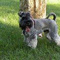 mam 8 miesięcy #sznaucer #pies #miniatura #nico