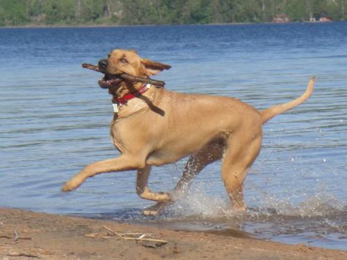 Zabawa w wodzie.Ciezko jest zrobic zdjecie kiedy pies sie rusza:P