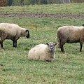 #zwierzęta #owce