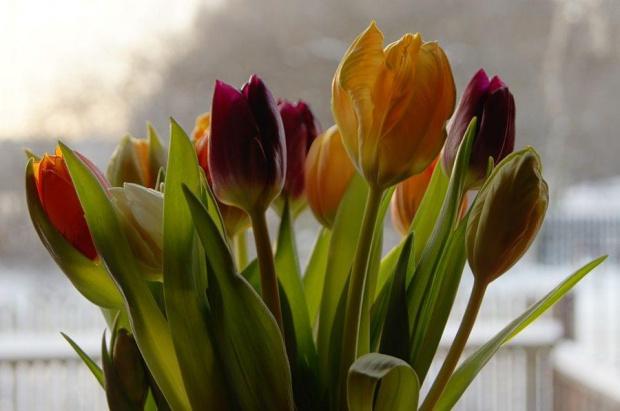 Tulipany. #kwiat #kwiaty #tulipany #kolorowe