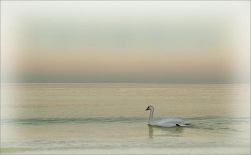 Łabędź #Łabędź #morze