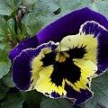 Walentynkowy bratek :))) #bratek #kwiat #Łomnica