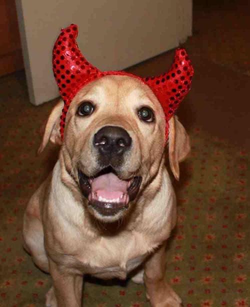diabołek ze mnie #LabradorTofeek #labradory #yellow #slodziak #piesio